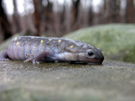 A closeup of a yellow spotted Salamander.  Stock Photo - 9481863