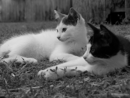 A black and white image of two cats lying down together by an old fence in the country. Stock Photo