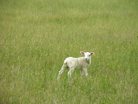 A baby Lamb in a grassy field.  Stock Photo