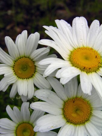 Daisies in a field after a summer rainfall.  Stock Photo