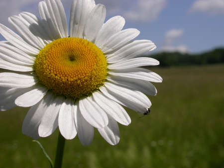 A Daisy with a bug on the petal in a Pennsylvania field. Stock Photo