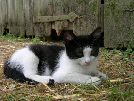 A black and white kitten near an old barn.