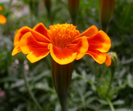Close up Of A Bright Marigold. Stock Photo