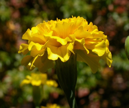 Close up of a yellow Marigold Flower.