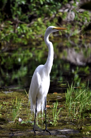 A Great White Egret standing in a swamp.  Stock Photo