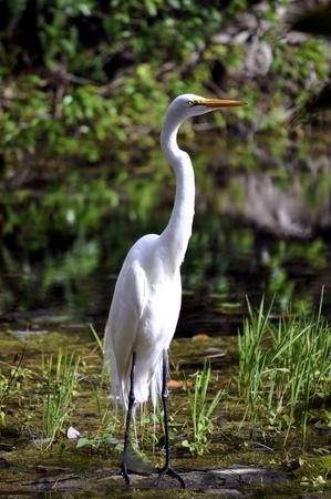 Wielki Egret Biały stojąc w bagnie.