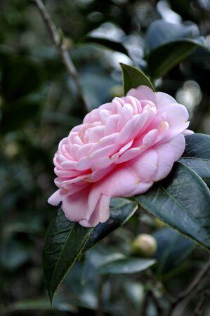 Closeup Of A Camellia Flower
