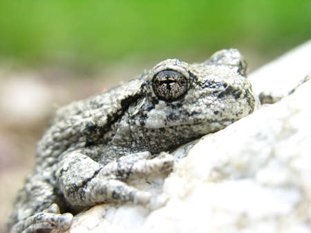 A macro shot of a Northern Gray Treefrog.  Stock Photo