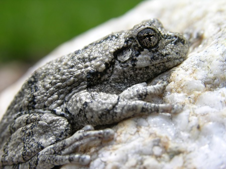 Closeup of a Northern Gray Treefrog. Stock Photo - 9632806