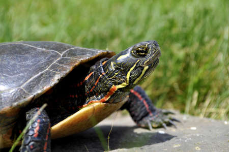 A Painted Turtle on a rock basking in the sun. Stock Photo - 9632807