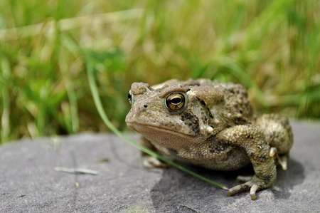 Closeup of a Toad on a rock.