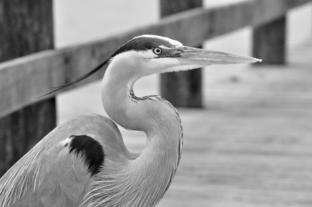 A black and white shot of a Great Blue Heron.