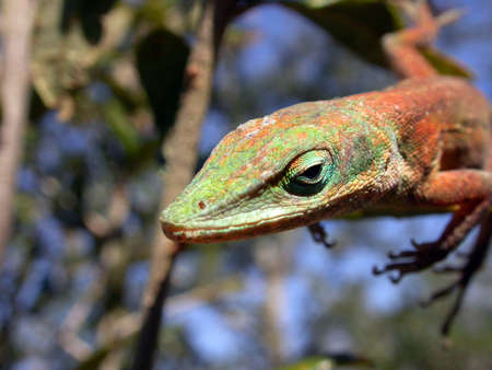 A macro shot of a Green Anole Lizard.  Stock Photo