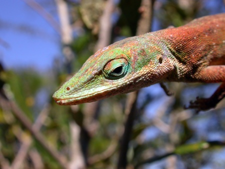 A close up of a Green Anole Lizard.  Stock Photo