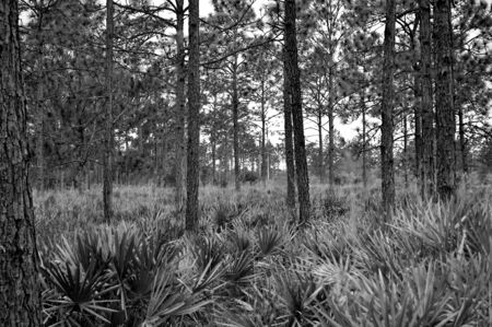 Black and white shot of plants and trees in a Florida forest.