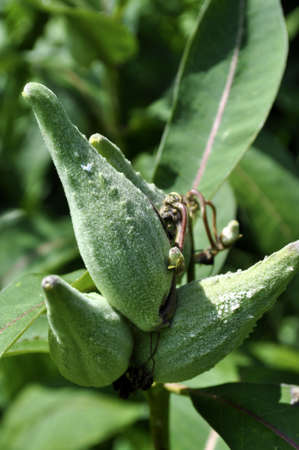 Green seedpods growing on a plant.
