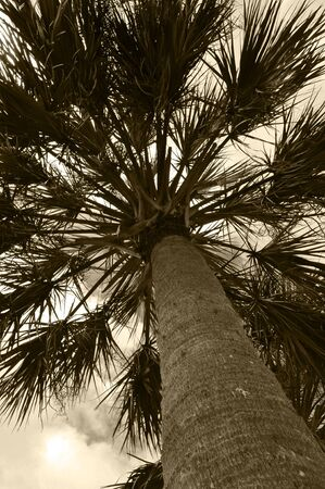 Looking up at a Palm tree taken in Sepia Tone.