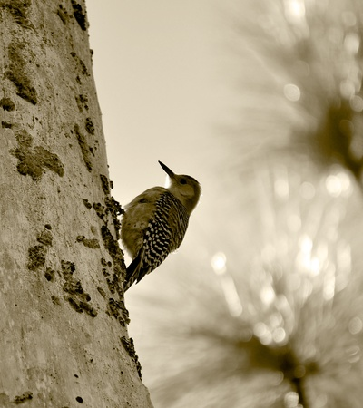 A small woodpecker on a tree taken in Sepia Tone.