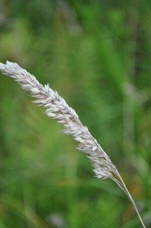 Macro shot of wheat blowing in the wind.