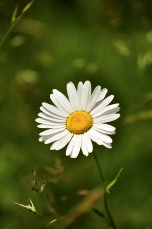 A macro shot of a Daisy in the field.