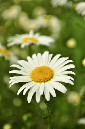 A field of Daisies in the countryside. Stock Photo