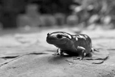 salamander: Bianco e nero di una gigante gialla Spotted Salamander.