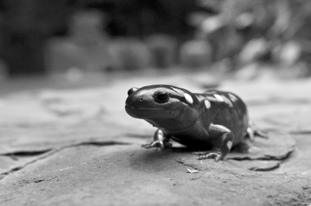 Black and White of a Giant Yellow Spotted Salamander. Stock Photo