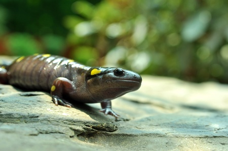 Close up of a Giant Yellow Spotted Salamander. Stock Photo - 10101587
