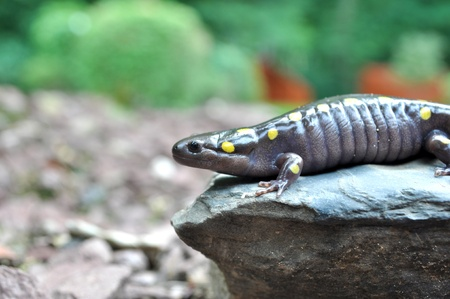 newts: Macro of a Giant Yellow Spotted Salamander on a rock. Stock Photo