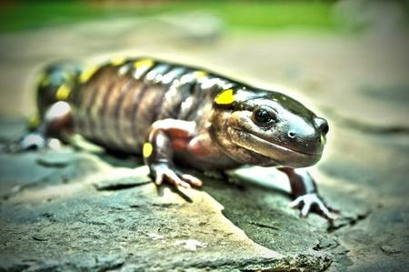 HDR z ogromnej żółtej salamandra plamista.