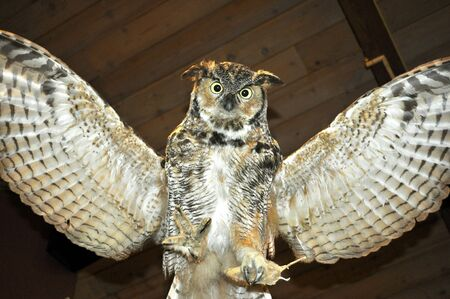 A stuffed owl.