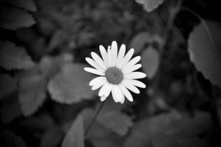 A Daisy shot in Black and White. Stock Photo