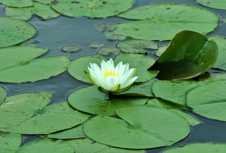 A Lily Pad floating in a pond.