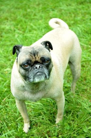 Portret wziąć zwierzaka rasy Pug.