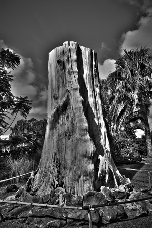 A Monochromatic HDR shot of a giant tree trunk at a park.