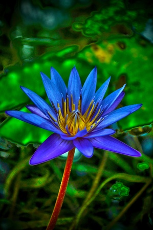 A HDR shot of a Water Lily in a small pond.