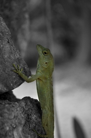 Black and white macro of a Lizard climbing up a tree and painted in color with green.  Stock Photo