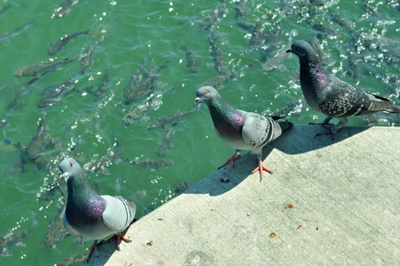 Three Pigeons on a ledge near the water.