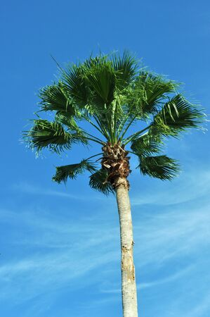 A Florida Palm Tree with a blue sky in the background.  Stock Photo