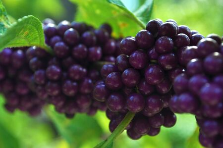 Close up of Grapes growing on a vine.  Stock Photo