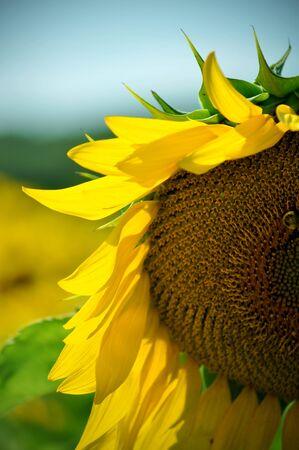 Macro of a half Sunflower