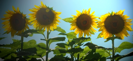 A group of Sunflowers standing together in a field  Reklamní fotografie
