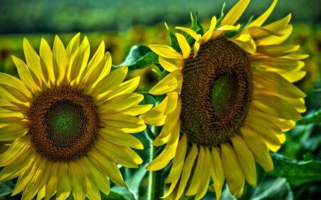 Dwa Słoneczniki podjęte w HDR Zdjęcie Seryjne