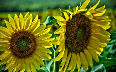 Two Sunflowers taken in HDR