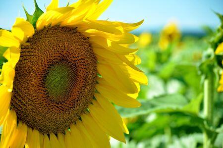 Sunflower taken in a Sunflower field