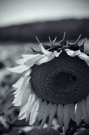 Black and White image of a Sunflower