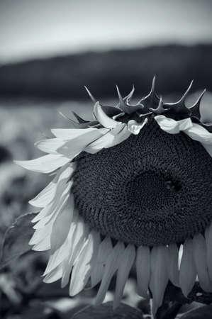 Czarno-biały obraz Słonecznik