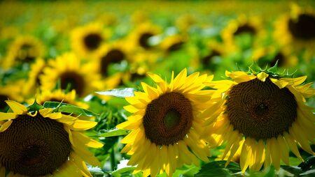 A Sunflower field landscape