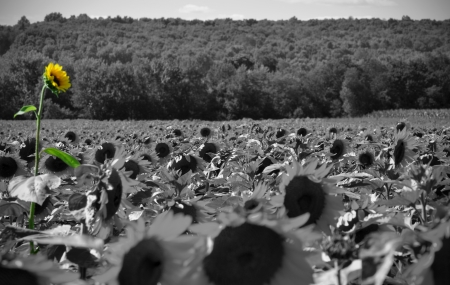 A Sunflower field taken in black and white with a tall sunflower painted in color Stock Photo