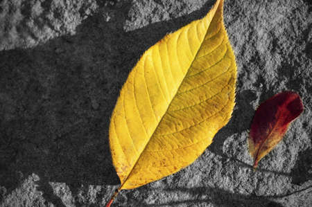 Two yellow and red fall leaves taken on a rock